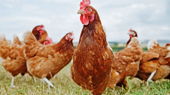 Nestlé solo utiliza huevos de gallinas libres de jaulas en Europa