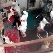 Equalia denuncia errores en el Decreto que obligará a instalar cámaras en los mataderos