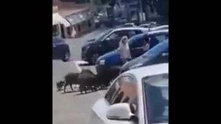 Unos jabalíes roban la compra a una mujer en el supermercado