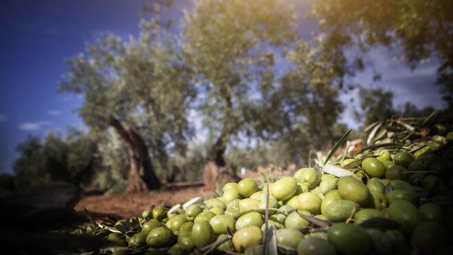 España tiene 1,3 millones de hectáreas de olivar tradicional en riesgo de abandono
