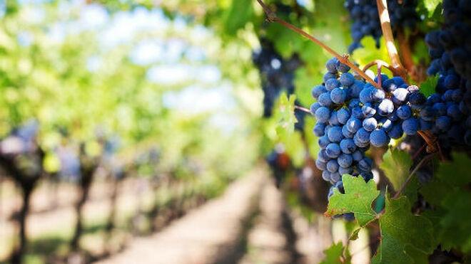 """El sector del vino prevé una vendimia en España corta, pero de """"calidad excepcional"""""""
