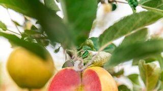 Las manzanas Kissabel vuelven al mercado europeo