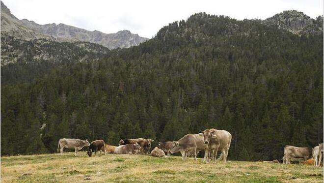 'Vacas bombero': el papel de la ganadería en la prevención de incendios