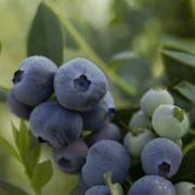 La chilena Hortifrut compra la española Atlantic Blue por 241 millones de euros